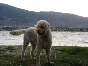 Dexter enjoys some beach time in Osoyoos