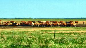 Cows in Manitoba