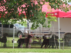 Dog Show Pics kingston 043
