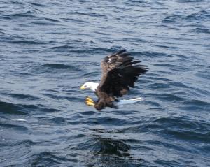 Eagle & fish